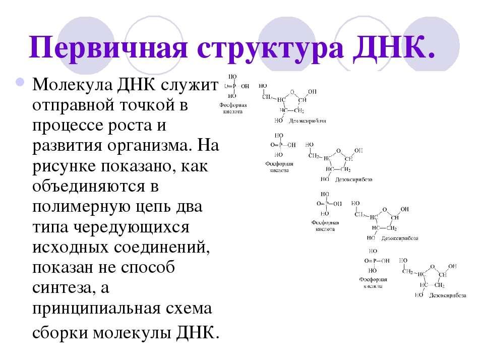 Первичная структура ДНК. Молекула ДНК служит отправной точкой в процессе рост...