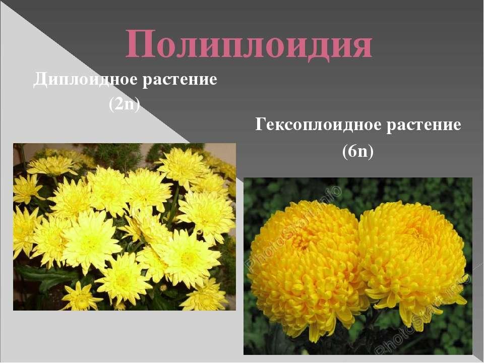 Полиплоидия Гексоплоидное растение (6n) Диплоидное растение (2n)
