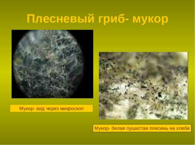 Плесневый гриб- мукор Мукор- вид через микроскоп Мукор- белая пушистая плесен...