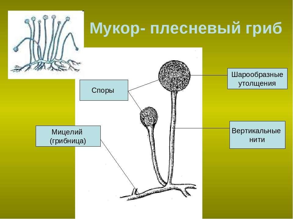 Мукор- плесневый гриб Шарообразные утолщения Вертикальные нити Мицелий (грибн...