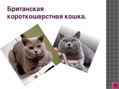 Кимрская кошка (Кимрик).