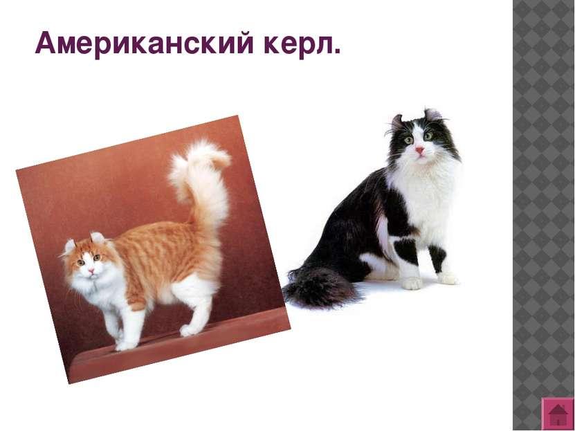 Британская короткошерстная кошка.