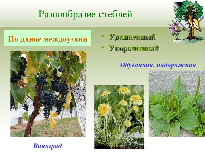 Разнообразие стеблей Удлиненный Укороченный По длине междоузлий Одуванчик, по...