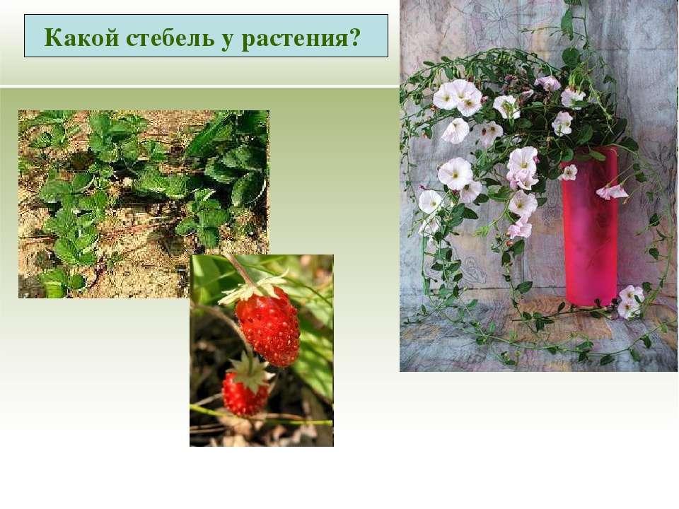 Какой стебель у растения?