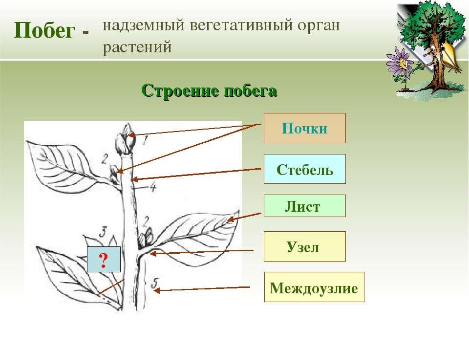 Побег - надземный вегетативный орган растений Стебель Лист Почки Строение поб...