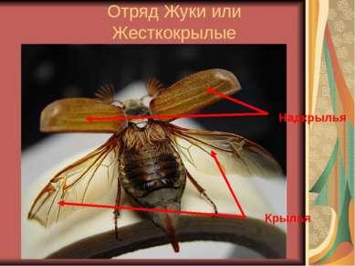 Отряд Жуки или Жесткокрылые Надкрылья Крылья