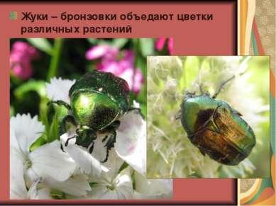 Жуки – бронзовки объедают цветки различных растений
