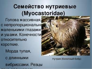 Семейство нутриевые (Myocastoridae) Голова массивная, с непропорционально ма...