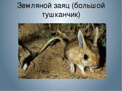 Земляной заяц (большой тушканчик)