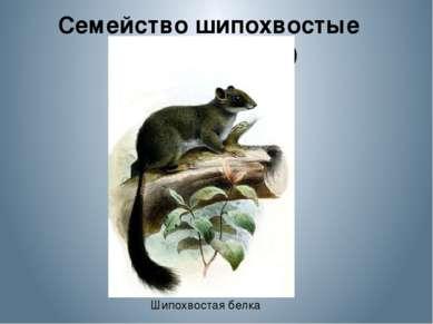 Семейство шипохвостые (Anomaluridae) Шипохвостая белка