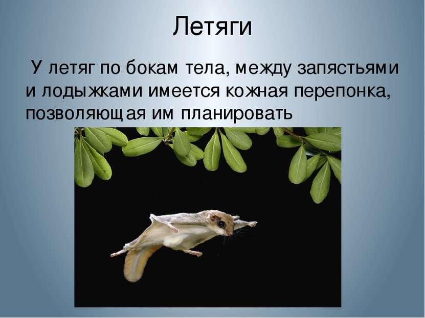 Летяги У летяг по бокам тела, между запястьями и лодыжками имеется кожная пер...