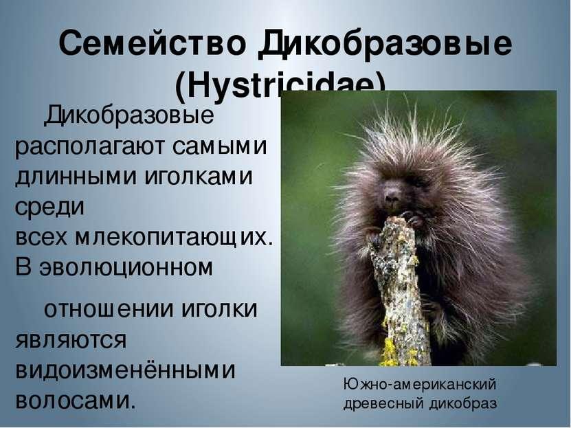 Семейство Дикобразовые (Hystricidae) Дикобразовые располагают самыми длинным...
