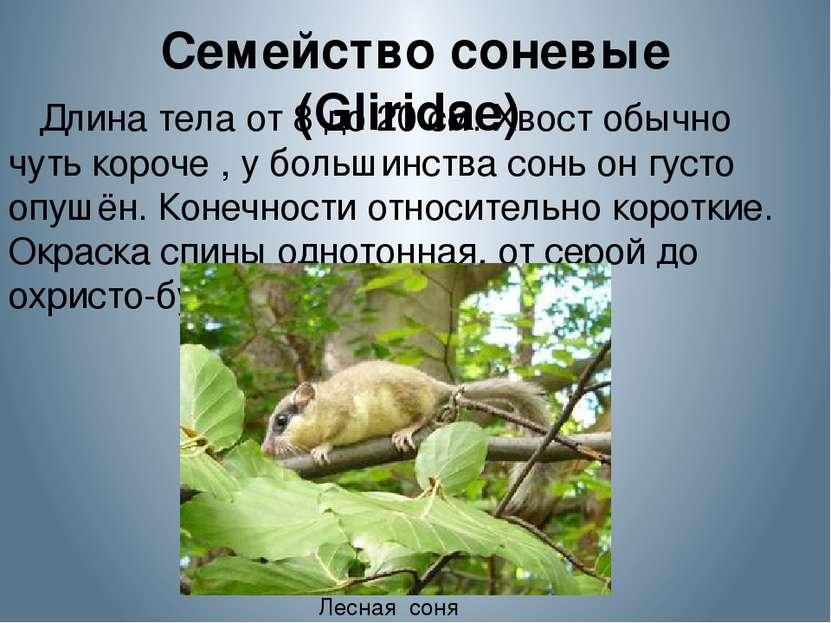 Семейство соневые (Gliridae) Длина тела от 8 до 20 см. Хвост обычно чуть кор...