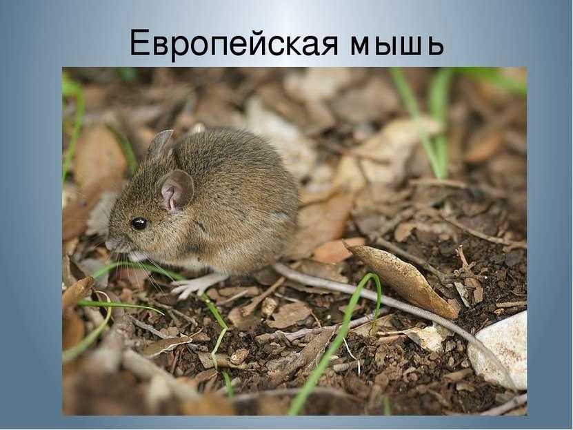 Европейская мышь
