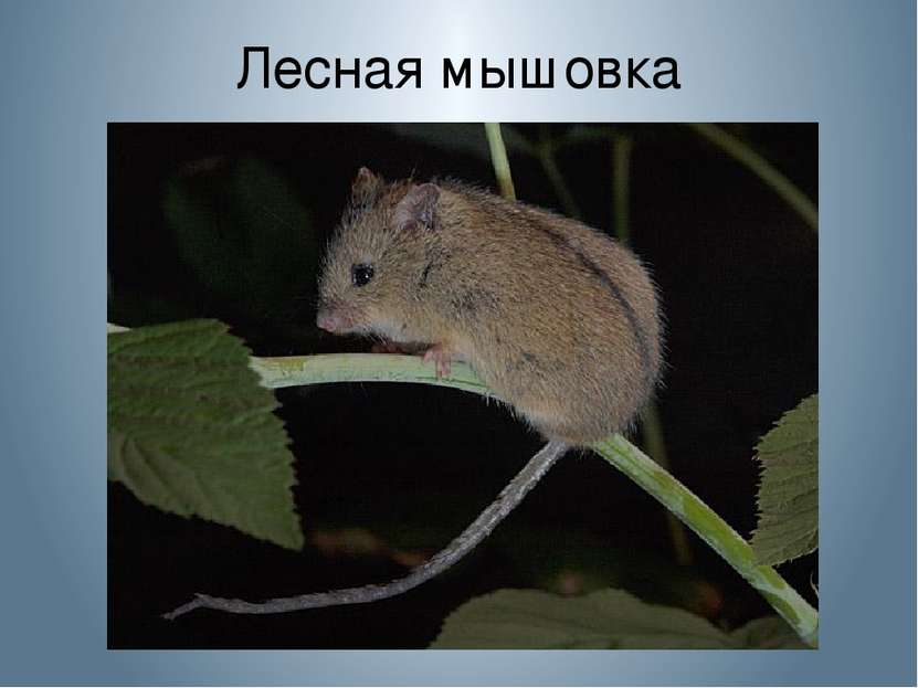 Лесная мышовка