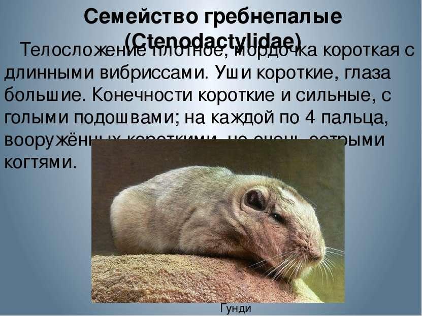 Семейство гребнепалые (Ctenodactylidae) Телосложение плотное, мордочка коротк...