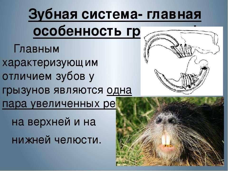 Зубная система- главная особенность грызунов! Главным характеризующим отличие...