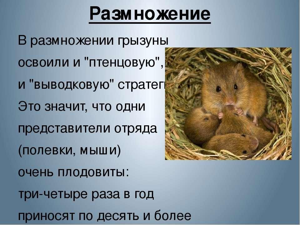 """Размножение В размножении грызуны освоили и """"птенцовую"""", и """"выводковую"""" страт..."""
