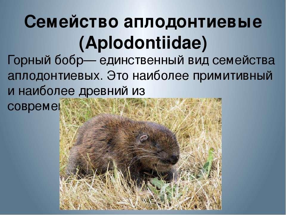 Семейство аплодонтиевые (Aplodontiidae) Горный бобр— единственный вид семейст...