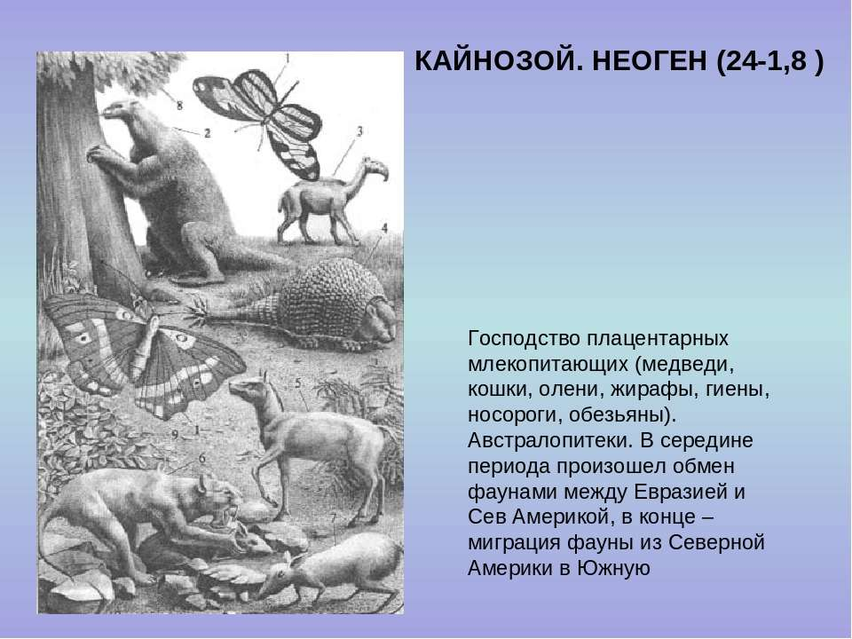 КАЙНОЗОЙ. НЕОГЕН (24-1,8 ) Господство плацентарных млекопитающих (медведи, ко...