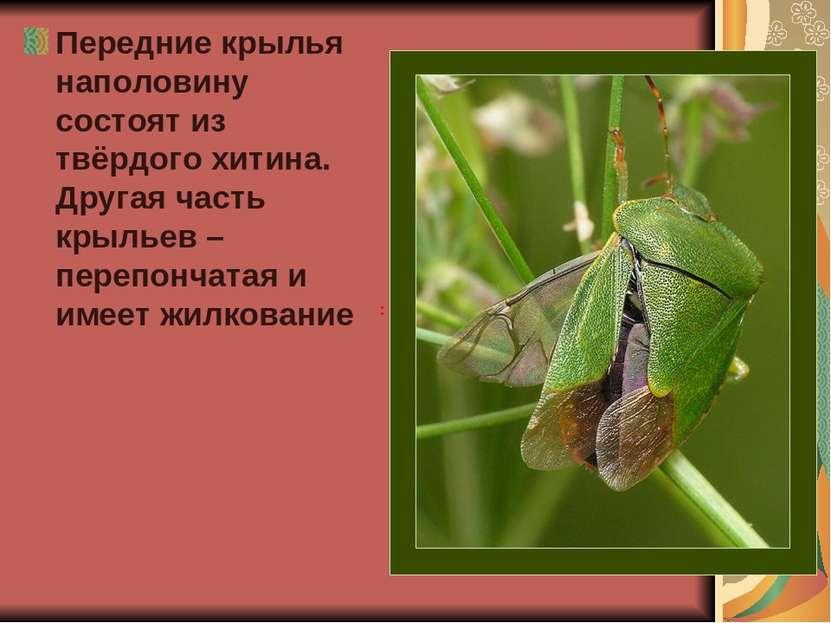 Передние крылья наполовину состоят из твёрдого хитина. Другая часть крыльев –...
