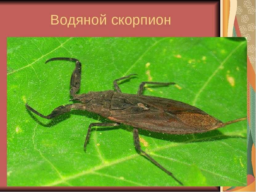 Водяной скорпион