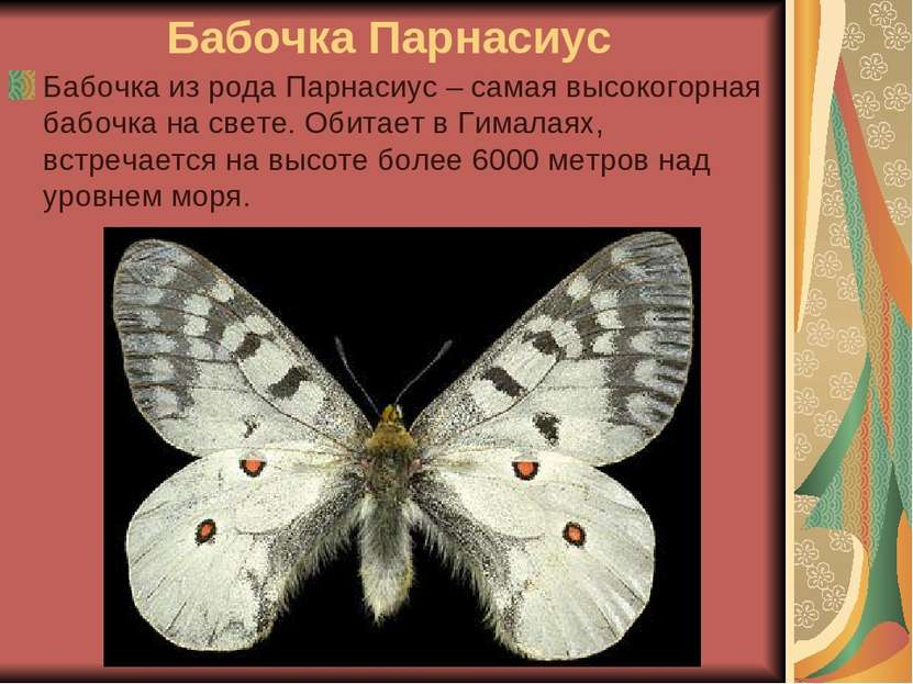 Бабочка Парнасиус Бабочка из рода Парнасиус – самая высокогорная бабочка на с...