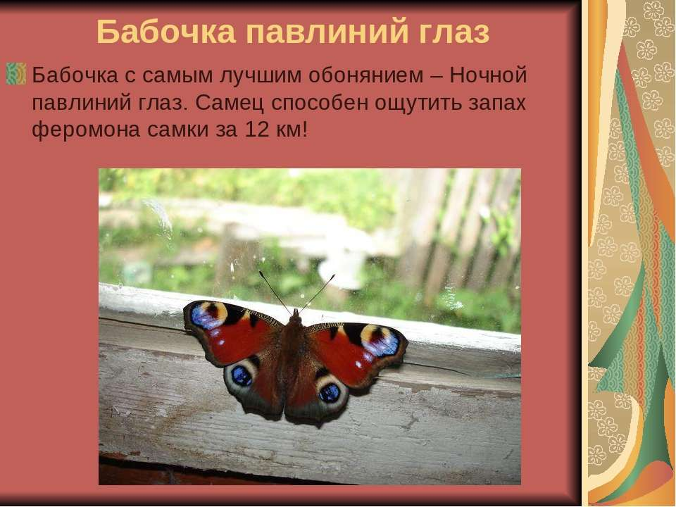 Бабочка павлиний глаз Бабочка с самым лучшим обонянием – Ночной павлиний глаз...