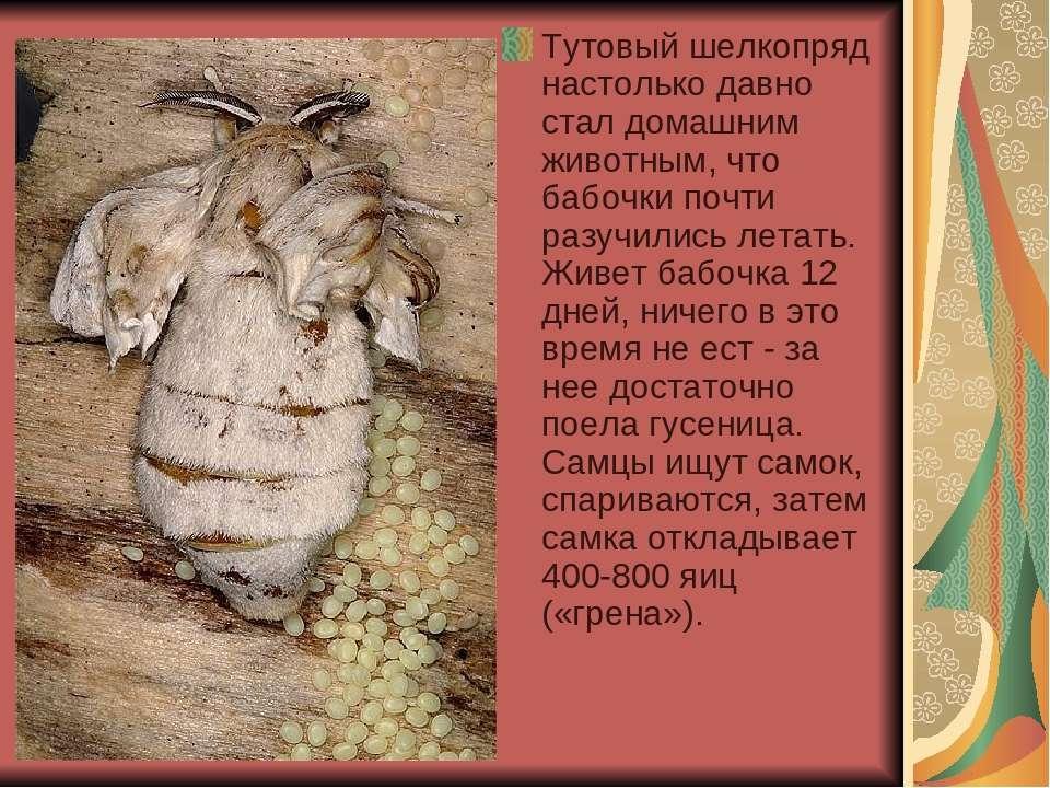 Тутовый шелкопряд настолько давно стал домашним животным, что бабочки почти р...