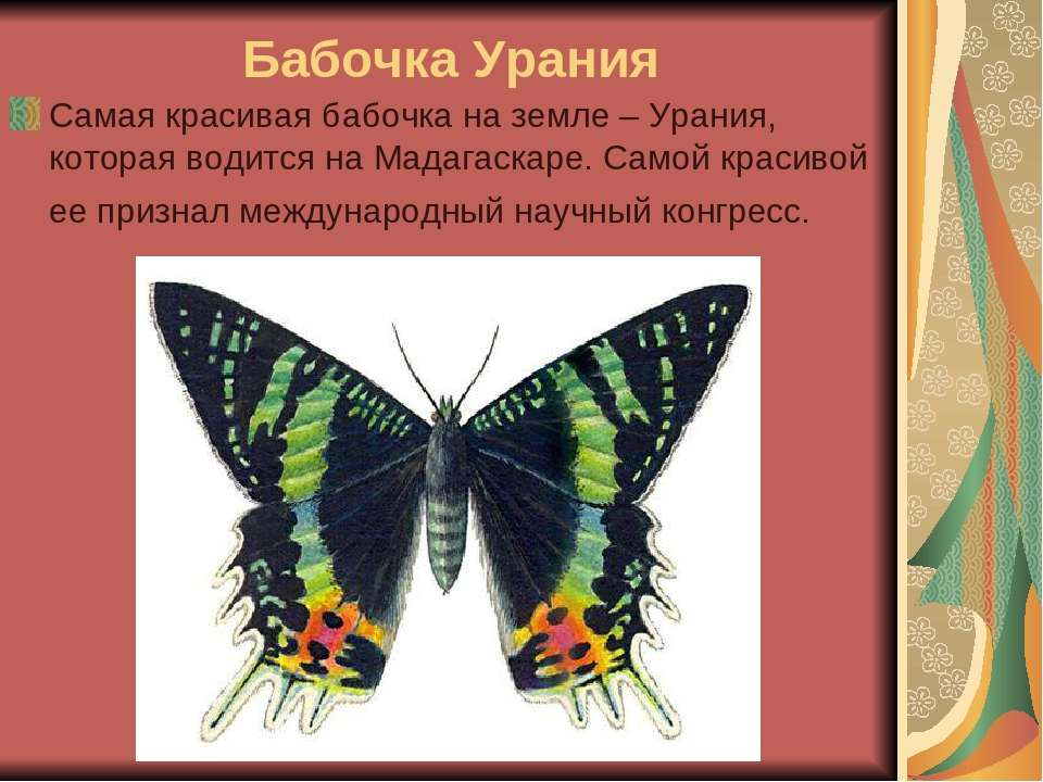 Бабочка Урания Самая красивая бабочка на земле – Урания, которая водится на М...