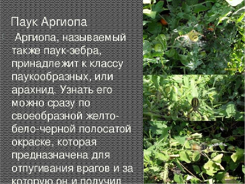Паук Аргиопа Аргиопа, называемый также паук-зебра, принадлежит к классу пауко...