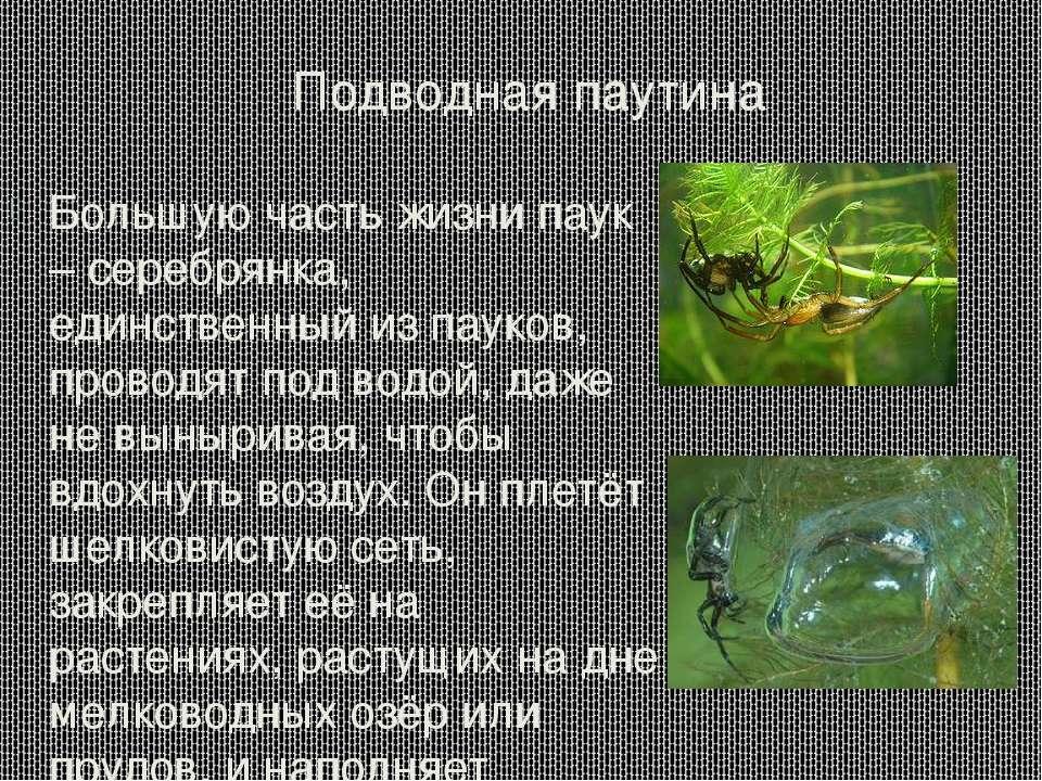 Подводная паутина Большую часть жизни паук – серебрянка, единственный из паук...