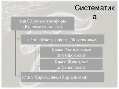 Систематика п/тип Мастигофоры (Жгутиковые) п/тип Саркодовые (Корненожки) тип ...