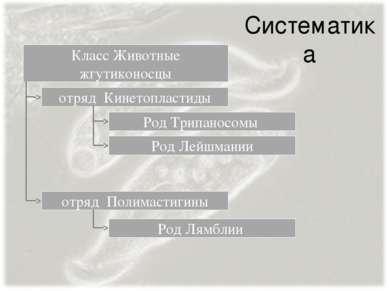 Систематика Класс Животные жгутиконосцы отряд Кинетопластиды Род Трипаносомы ...