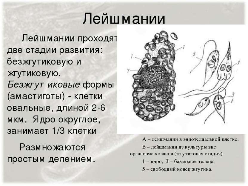 Лейшмании Лейшмании проходят две стадии развития: безжгутиковую и жгутиковую....
