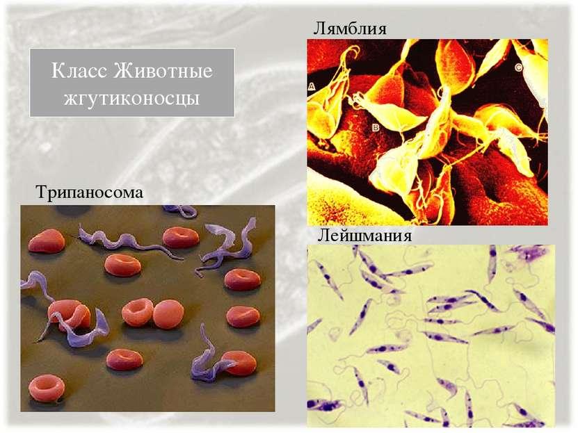 Класс Животные жгутиконосцы Трипаносома Лейшмания Лямблия