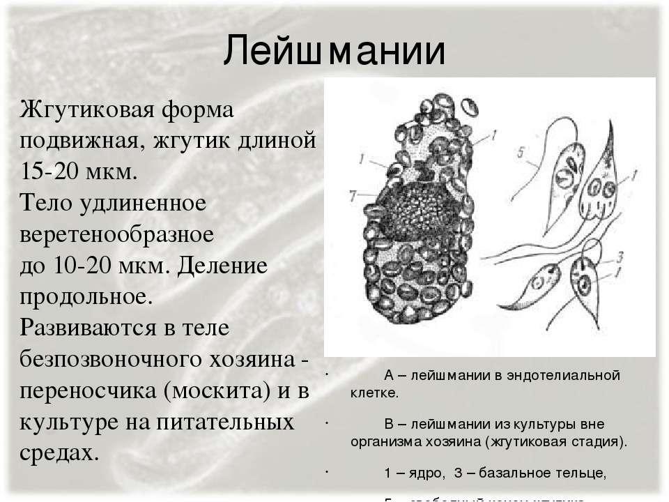 Лейшмании А – лейшмании в эндотелиальной клетке. В – лейшмании из культуры вн...