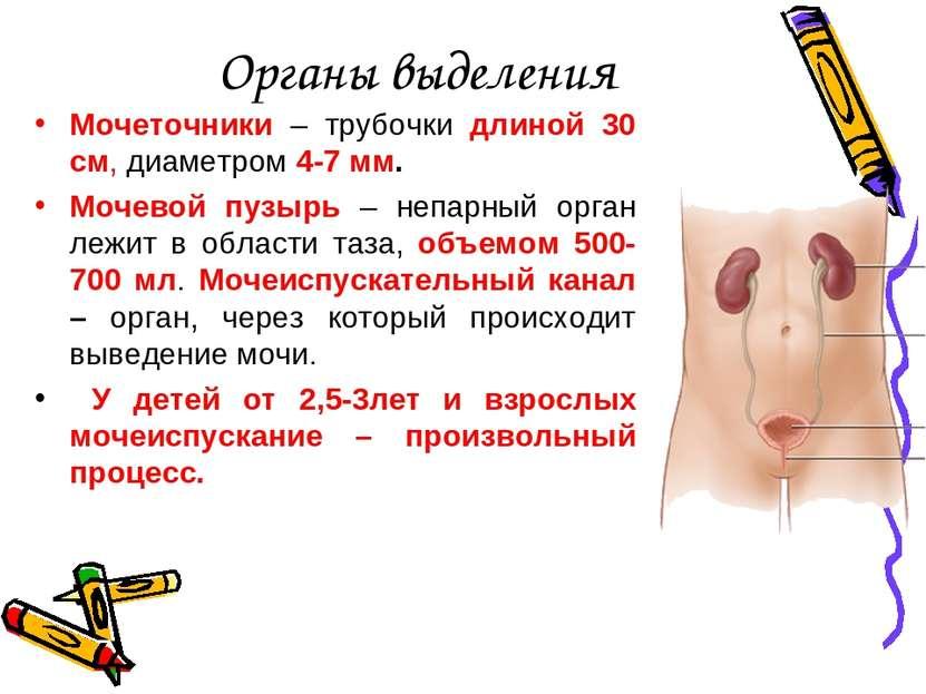 Органы выделения Мочеточники – трубочки длиной 30 см, диаметром 4-7 мм. Мочев...