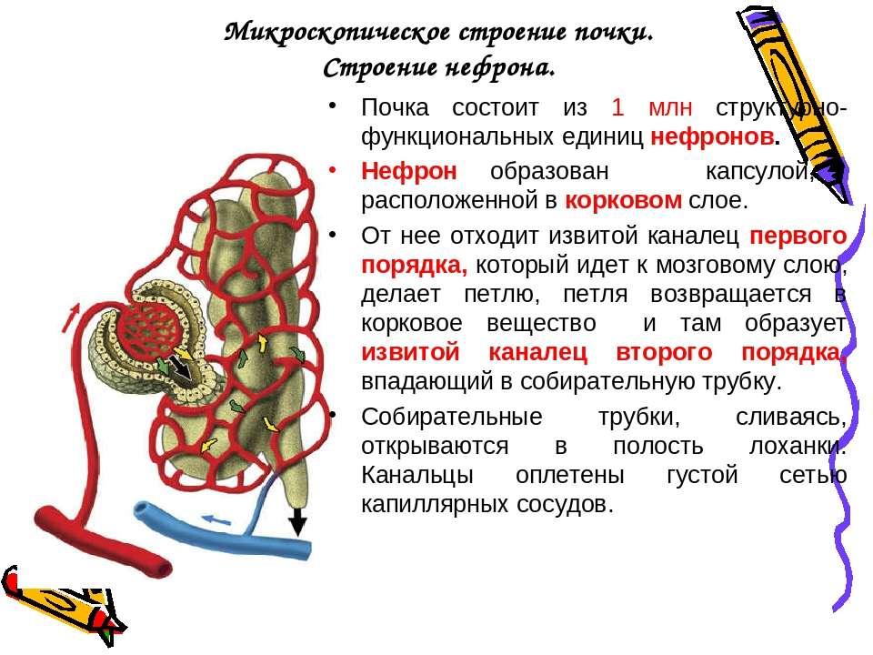 Микроскопическое строение почки. Строение нефрона. Почка состоит из 1 млн стр...