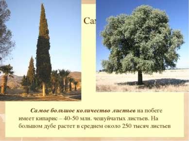 Самые-самые… Самое большое количество листьев на побеге имеет кипарис – 40-50...
