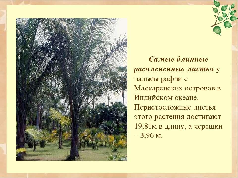 Самые длинные расчлененные листья у пальмы рафии с Маскаренских островов в Ин...