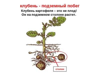 Клубень картофеля – это не плод! Он на подземном столоне растет. клубень - по...