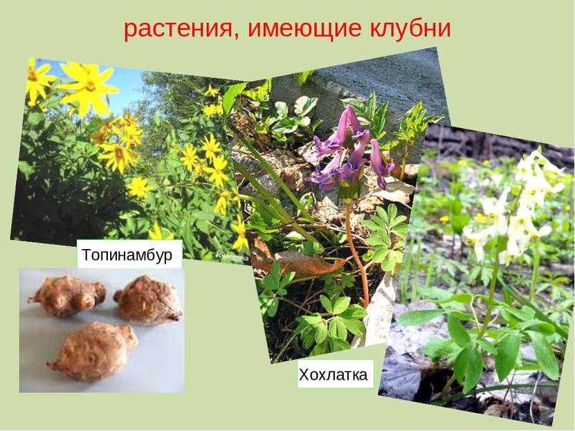 растения, имеющие клубни Хохлатка Топинамбур
