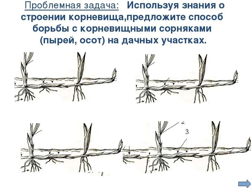 Проблемная задача: Используя знания о строении корневища,предложите способ бо...