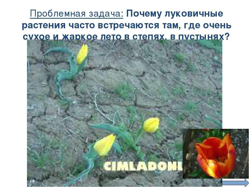 Проблемная задача: Почему луковичные растения часто встречаются там, где очен...