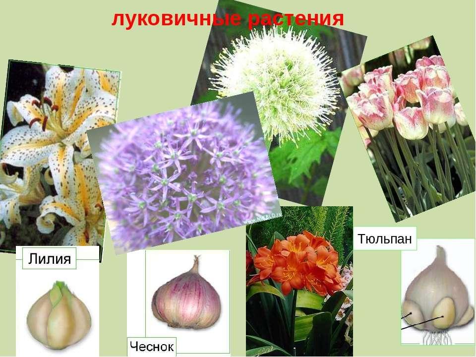 Тюльпан луковичные растения