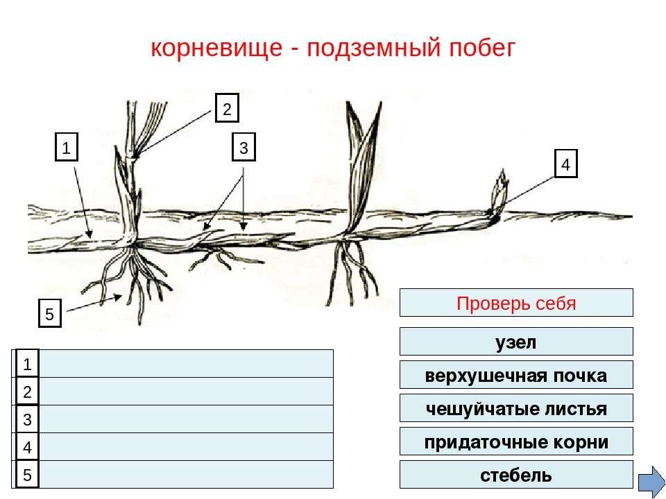 1. 2. 3. 4. 5. верхушечная почка чешуйчатые листья придаточные корни стебель ...