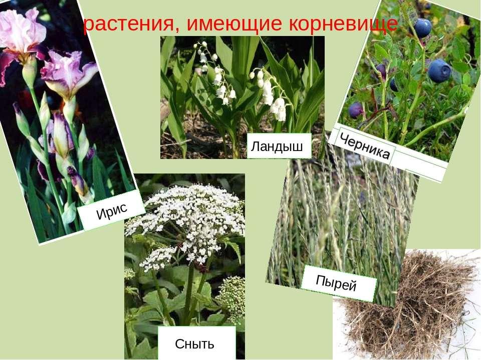 растения, имеющие корневище Ландыш