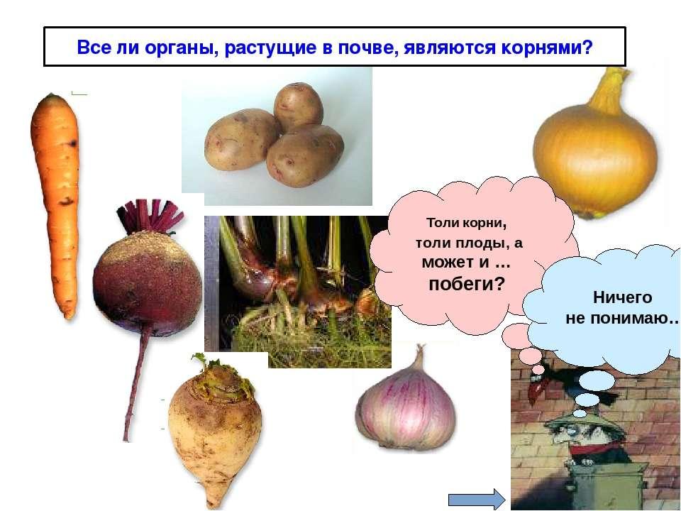 Все ли органы, растущие в почве, являются корнями? Толи корни, толи плоды, а ...