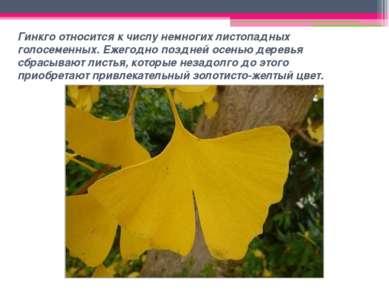 Гинкго относится к числу немногих листопадных голосеменных. Ежегодно поздней ...